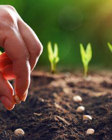 Pepper plants – planting tips